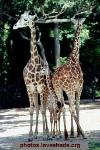 Two adult giraffes and a baby